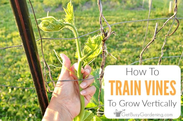 How To Train Vines To Grow Vertically