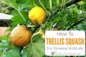 Trellising Squash: How To Grow Squash Vertically