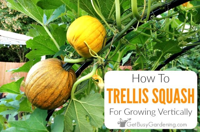 Growing Squash Vertically - Everything You Need To Know