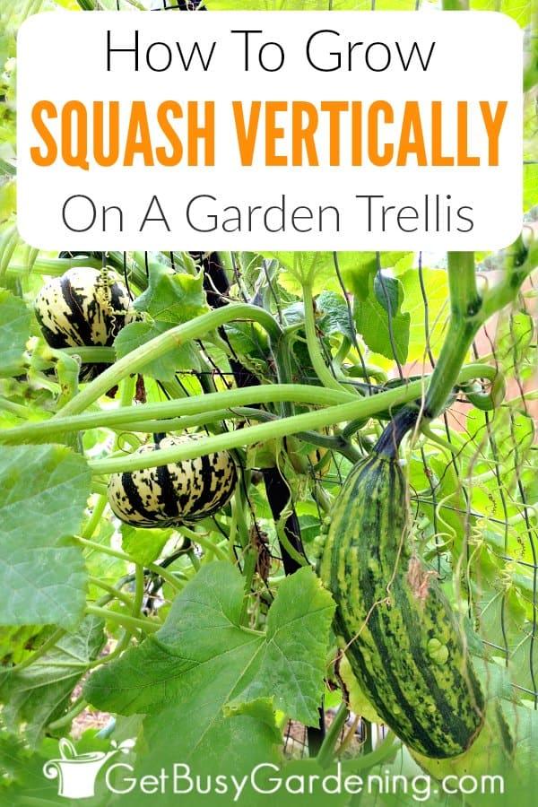 How To Grow Squash Vertically On A Garden Trellis