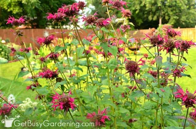 Bee balm are beautiful perennial herbs to grow