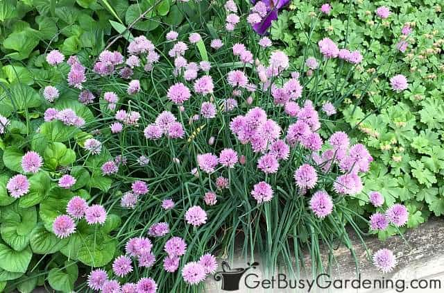 Chives are flowering perennial herbs