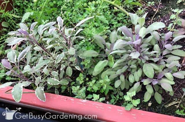 Different types of sage are common perennial herbs