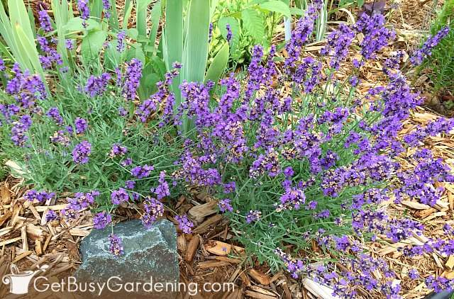 French lavender is a perennial for cooler climates