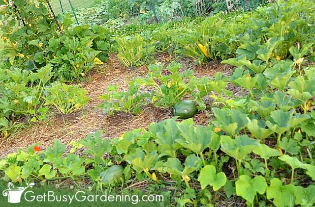 Growing fresh vegetables at home in my DIY veggie garden