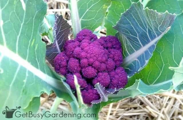 Purple cauliflower is gorgeous in the vegetable garden