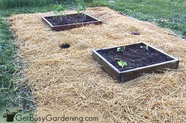 Using straw mulch in my vegetable garden
