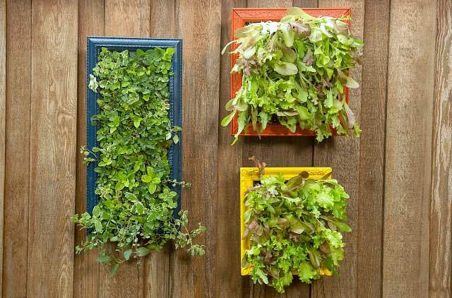 Vertical garden picture frames planted with herbs and salad greens