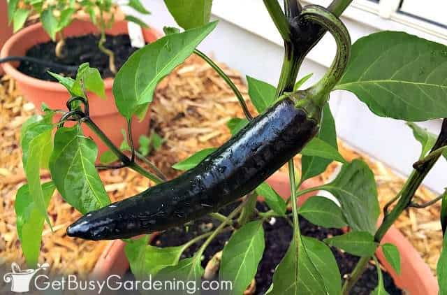 Black Czech peppers planted in a container