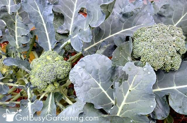 Broccoli is one of the vegetables that grow in partial sun