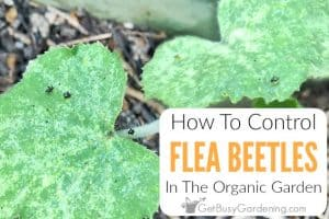 How To Control Flea Beetles In The Organic Garden