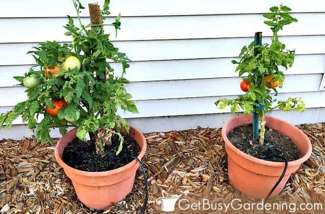 Determinate patio plants in pots with ripening tomatoes