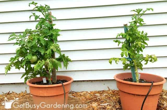 Determinate tomato plants growing in containers