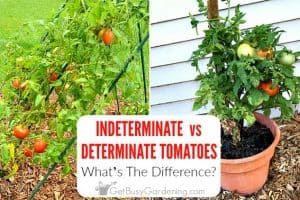 How To Tell Determinate vs Indeterminate Tomatoes