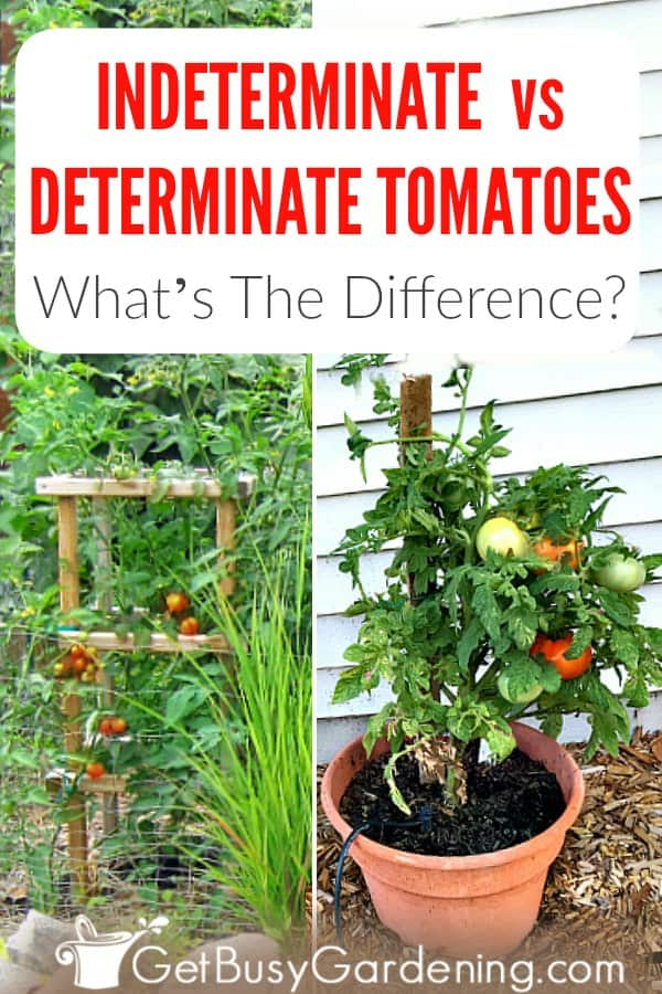 It's easy to tell the difference between determinate vs indeterminate tomatoes when to know what to look for. It's important to understand the difference because they each have unique growing habits. One is a patio plant perfect for growing in pots and small spaces. While the other can grow huge, and is best for a large garden plot, or for growing on a trellis. Once you know the difference, you'll be able to make an informed decision of which type to grow.