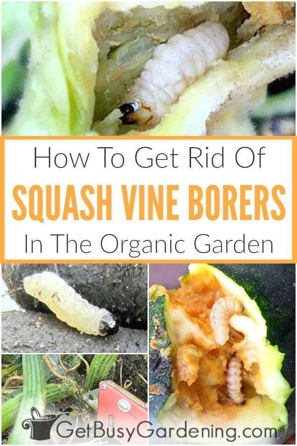 How To Get Rid Of Squash Vine Borers In The Organic Garden
