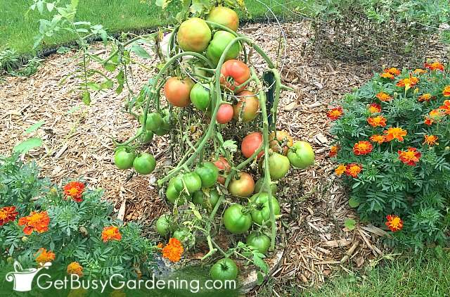 Getting my tomatoes to ripen on the vine