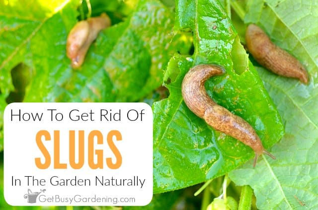 How To Get Rid Of Slugs In The Garden Naturally