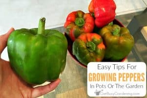 Easy Tips For Growing Peppers