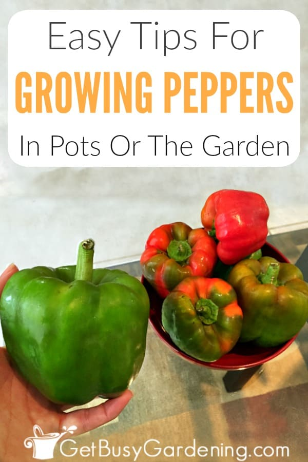 Growing peppers in pots or the garden is easy when you know the secrets. Learn how to grow great peppers, and you'll have your best and biggest harvest ever! It doesn't matter if you want to grow mild varieties, like banana or bell peppers, or hot peppers like red cayenne, jalapeno, or habanero, the care is the same. Follow these simple pepper plant care tips for watering, sun exposure, pruning, best fertilizer, soil requirements, and more!