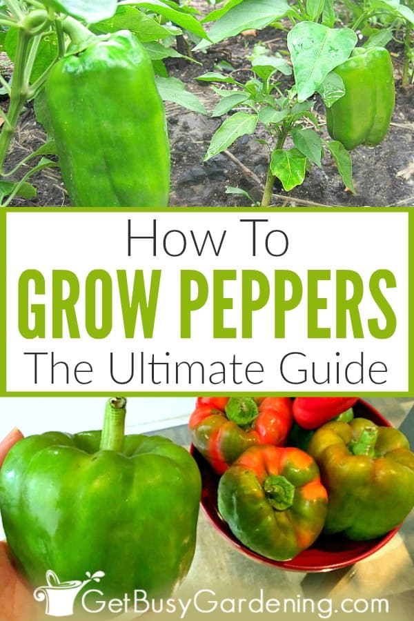 How To Grow Peppers The Ultimate Guide