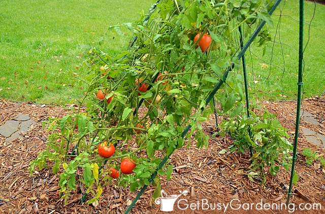 Indeterminate tomato plants growing on a trellis