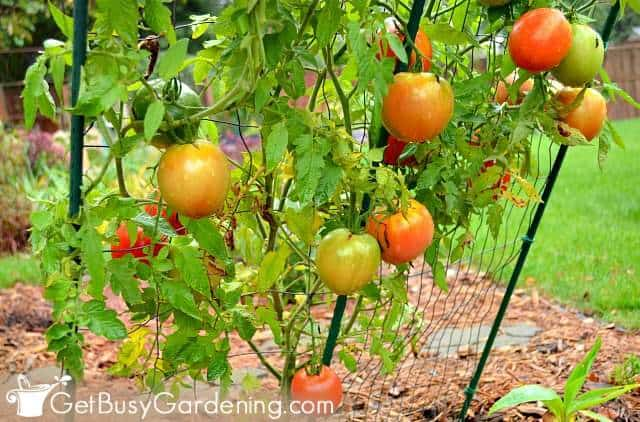Indeterminate tomatoes grow fruit all along the stems