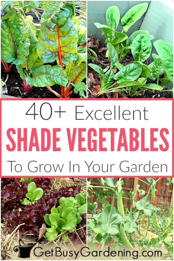 Vegetables don't all require the same sun exposure. Veggies with leaves, like salad greens and spinach prefer shade. Root crops, like radish and carrot, do great in part-shade. And ones that get flowers or heads, like brussels sprouts or beans, will tolerate part-sun. Find tons of options with this shade vegetables list, including part shade and part sun veggies too! Once you learn about the types of vegetables that grow in shade, you can plant anything you want!