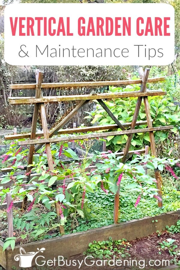 Whether growing vines on a trellis or fence, or other plants hanging on walls, fences, picture frames, or in pockets, maintaining a vertical garden is easier than a traditional garden plot. But it's not totally hands-off. Learn all about caring for vertical gardens, including watering, fertilizing, pruning, harvesting, training, tying, pest and weed control, and more! Plus, get tons of simple tips and hacks that will make caring for your vertical gardens a snap!