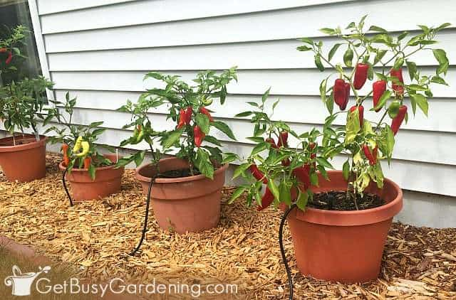 Watering pepper plants with drip irrigation