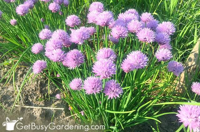 Chives blooming in my garden