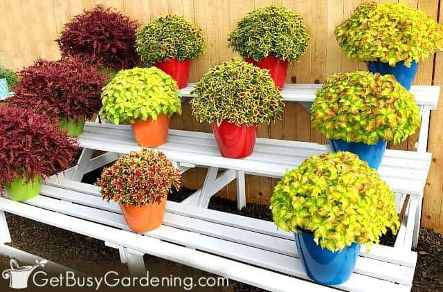 Coleus are great plants for patio pots