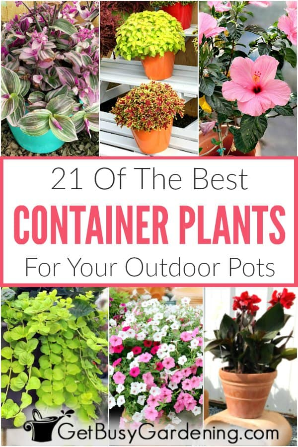 Choosing outdoor summer container plants should be easy, not overwhelming. Whether you're looking for container gardening plants for your full sun front porch, or a shade patio or balcony. Or you want low maintenance or drought tolerant plants, large, tall or small, for combinations or individuals. Whatever you're looking for, you'll find tons of ideas here. This list of plants for pots includes flowers, tropical plants, succulents, foliage plants, and more!