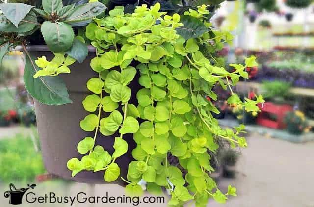 Creeping jenny are common garden plants for pots