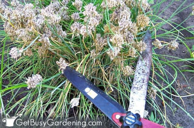 Cutting back chives after flowering
