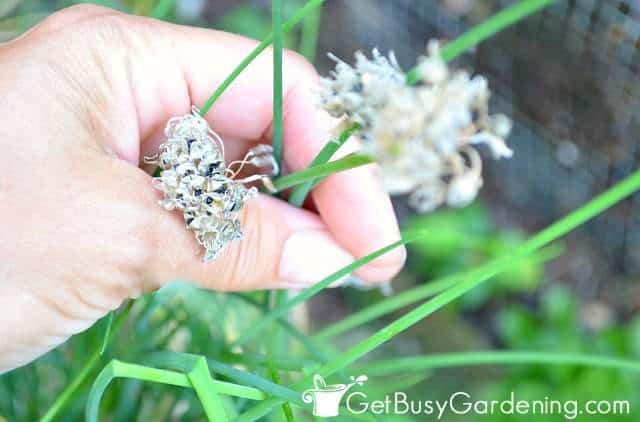 Deadheading chive flowers