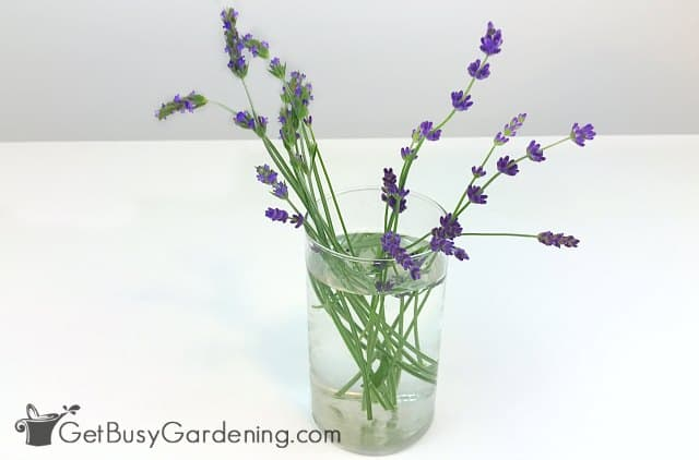 Fresh lavender flowers in a vase of water