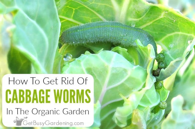 How To Get Rid Of Cabbage Worms Organically