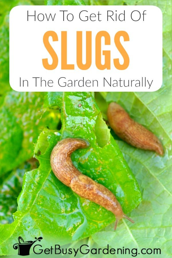 Slugs are destructive garden pests that hide during the day and come out to cause major damage on hostas and other plants leaves overnight. They are soft bodied, leave slime trails, and can be brown, gray or black. Learn everything you need to know about their life cycle, what they eat, how to get rid of slugs in the garden, and tips to prevent them from coming back! Includes effective organic slug control methods and products (like traps, repellents and slug killers).