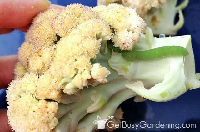 Green cabbage worm on white cauliflower