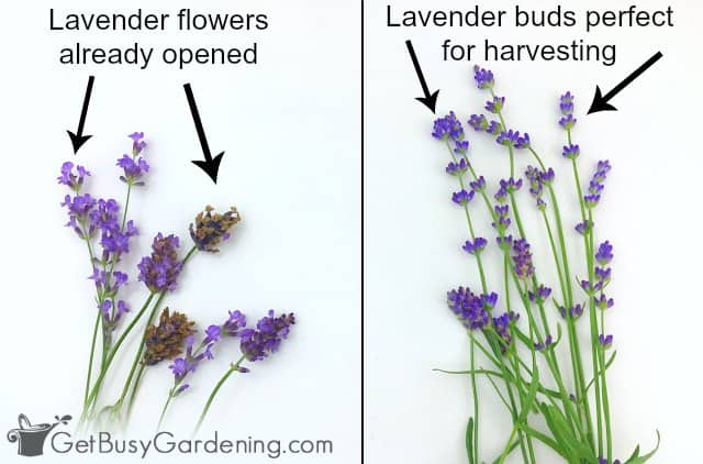 Harvest lavender flowers before the buds open