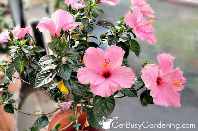Hibiscus are nice large outdoor potted plants