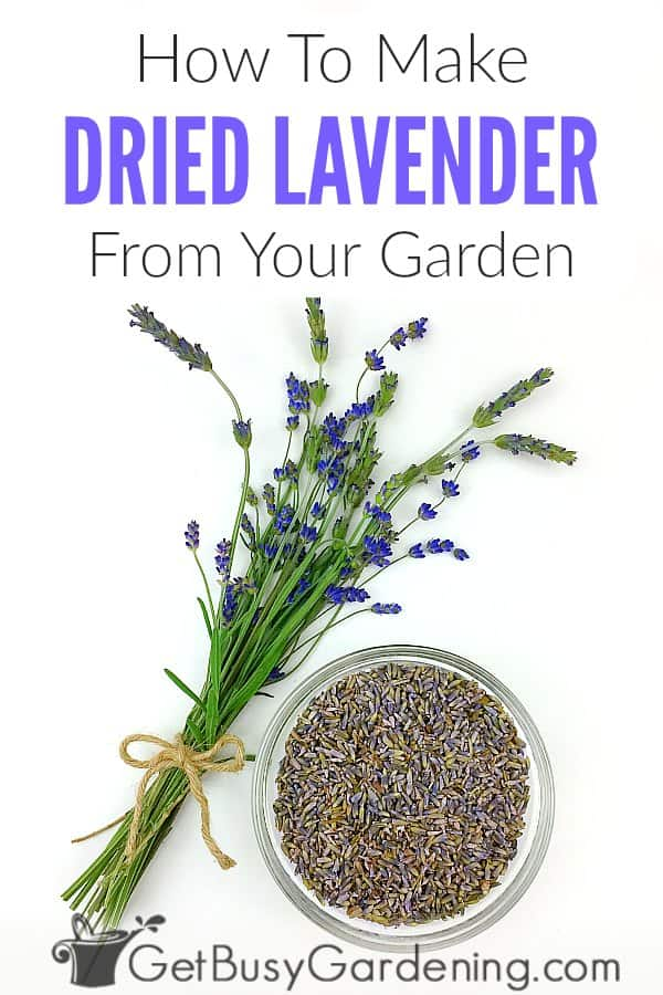 Lavender is an herb known for its beneficial essential oils, and many uses: making tea or recipes, crafts, potpourri, sachet bags, or for decoration. You can easily make DIY dried lavender right out of the garden using flower buds or leaves. Learn how to dry lavender, including what type to use, and when to cut it. Plus detailed steps for 5 drying methods (hanging stem bundles, using a drying rack, or fast it in the oven, dehydrator, or microwave), and storage tips.