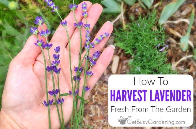 How To Harvest Lavender Fresh From The Garden