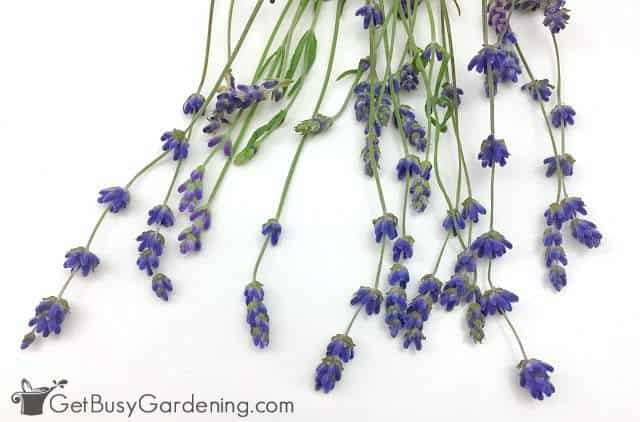 Lavender flower buds ready for drying
