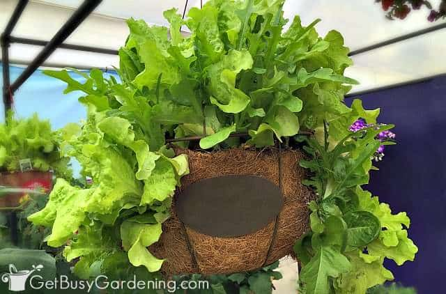 Lettuce is one of the best vegetables for container gardening