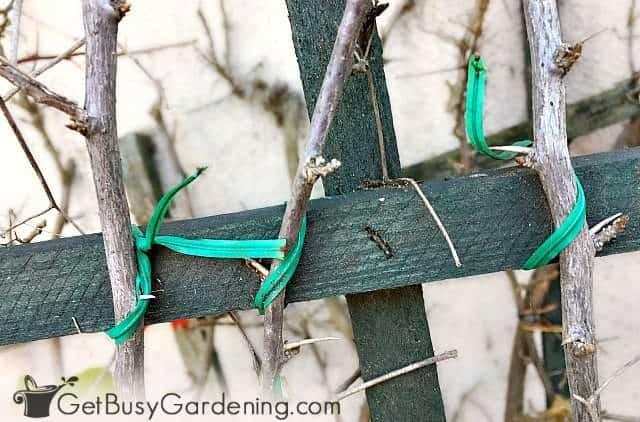 Длинные ветви, привязанные к шпалере