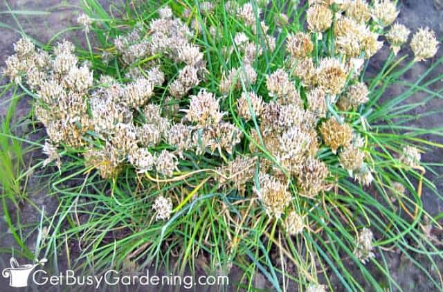 Overgrown chives after flowering