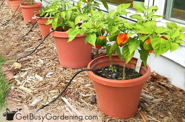 Peppers are easy container vegetables