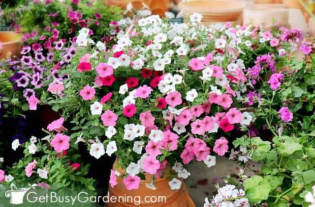 Petunias are one of the best plants for container gardening